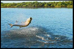 Tarpon Jumping On The Hook Up