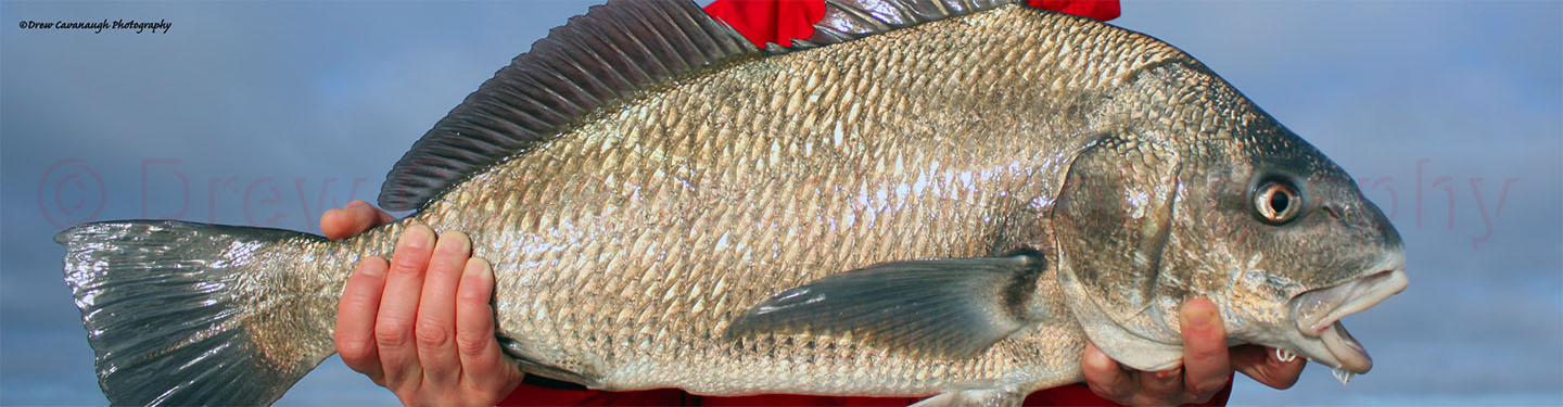 February 1st 2018 east central florida light tackle for Saltwater drum fish