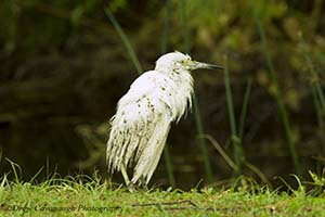 Hurricane Matthew Snowy Egret Injured