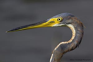 Florida Tri Colored Heron Head Shot